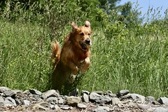 Ball Fun (Diane Marshman) Tags: thedude the dude golden retriever large dog breed jumping playing outdoors stones field sky summer northeast pa pennsylvania nature animal pet action motion chuckit ball