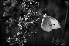 Dans la lumière !!! (Des.Nam) Tags: nb noiretblanc nikon noirblanc bw blackwhite monochrome mono desnam d800 papillon insecte nature proxy macro 105mmf28