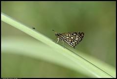_DSZ6734-11-06 -2018 -  Heteropterus morpheus - morfeo (r.zap) Tags: heteropterusmorpheus morfeo rzap parcodelticino farfalle hesperiidae