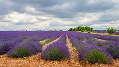 l'âme de la Haute-Provence (J.Giono) (watbled05) Tags: paysage plante lavande fleurs terre ciel couleurs nuages champs arbres extérieur hautesprovence valensole