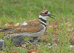 Killdeer with new hatchlings (hennessy.barb) Tags: killdeer killdeernest hatchingkilldeers mamakilldeerwithnewbabies barbhennessy