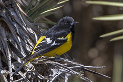 Scott's Oriole (thepcspud) Tags: review scottsoriole yuccavalley california