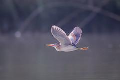 Fast And Low (gseloff) Tags: leastbittern bird flight bif nature wildlife animal water bayou wingpattern horsepenbayou pasadena texas kayak gseloff