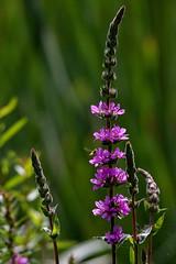 friday's flower power (Sabinche) Tags: blossom flower purple purpleloosestrife lythrumsalicaria blutweiderich fridaysflowerpower ffp canoneos7dmarkii sabinche