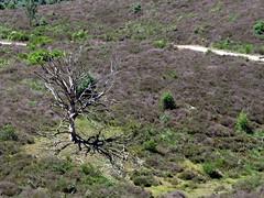 Veluwe, posbank (gerben more) Tags: veluwe posbank tree landscape footpath nature netherlands nederland