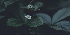 walderdbeere 7420 (s.alt) Tags: strawberry woodlandstrawberry erdbeere alpinestrawberry fraisedesbois wildstrawberry fragariavesca fragaria rosaceae erbelkraut rotbeere monatserdbeere smultron frucht rot red fruit rosengewächs sammelnussfrucht sommer plant green summer nature natureunveiled blossom bloom