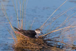 Black-winged stilt in the nest.