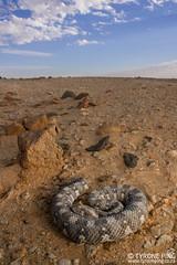 Bitis caudalis - Horned Adder. (Tyrone Ping) Tags: bitis caudalis horned adder snakes snake namib namibia desert venomous canon 5dmiii 100mmmacrof28 f28l mt24ex wwwtyronepingcoza tyroneping wildlife wildherps herping wideangle herpetology herpings african amazing animals cute