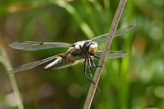 Dragonfly (eric robb niven) Tags: ericrobbniven scotland dragonfly four spotted chaser wildlife nature macro springwatch