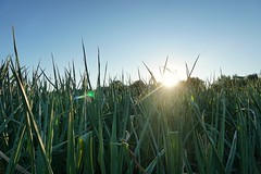 Maisfeld am Abend (st.ri1) Tags: sonya6300 sonnenuntergang sonne sonnenstrahlen sommer sony mais feld landschaft landscape abenddämmerung