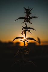 phoenix   l  2018 (weddelbrooklyn) Tags: natur landschaft morgensonne sonnenaufgang schleswigholstein licht schatten nikon d5200 35mm pflanze pflanzen nature landscapes morningsun sunrise lights plant plants shadows