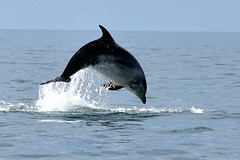 Dolphin leap (karen leah) Tags: dolphin bottlenose mammal nature wildlife outdoors sea july summer cardiganbay ceredigion movement leaping acrobatics