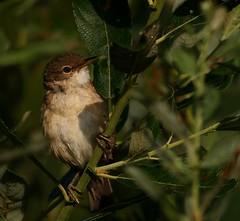 Eurasian Reed Warbler (Acrocephalus Scirpaceus) (Geoff Head*) Tags: reedwarbler naturephotography canon7dmark2 nature birdphotography biritishbirds somersetphotography somerset somersetlevels uknaturephotography ukbirds