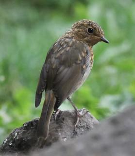 Young Robin.-Erithacus Rubecula