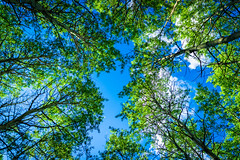 Up Trees (Bluesky251) Tags: alberta beautiful blue branch bright calm canada cloudline clouds colorful daylight daytime forest green hiking hot ka leaves light natural nature outside plant season sky skyline tree trees warm weather white wood world kananaskis kananaskiscountry view