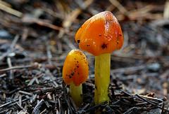 Hygrocybe conicoides. (Blackening Waxcap) (Bernard Spragg) Tags: phylum basidiomycota agaricomycetes agaricales hygrophoraceae hygrocybeconicoidesblackeningwaxcap mushroom waxgill fungi nature werknee lowpov forestfloor orange colourful lumix fz1000