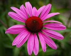 Sonnenhut (Echinacea) (Uhlenhorst) Tags: 2018 germany deutschland bavaria bayern plants pflanzen flowers blumen blossoms blüten coth coth5