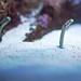 Spotted Garden Eel (Cyanea lamarckii) of Enoshima Aquarium, Fujisawa : チンアナゴ(藤沢市・新江ノ島水族館)