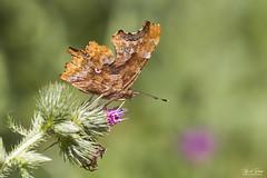 Gehakkelde Aurelia - Comma (Thijs de Bruin) Tags: comma gehakkeldeaurelia irrsental dof nature green butterfly