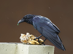 Carrion Crow ( Corvus Corone )- Wet but not half soaked !! ! (Clive Brown 72) Tags: clever adaptive wales crow intelligent feeding scavenging carrioncrow