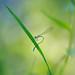 _LD_2421 (romain-dreux-photo) Tags: bokeh canada damselfly libellulidae odonata libellule macro nature odonates colors québec