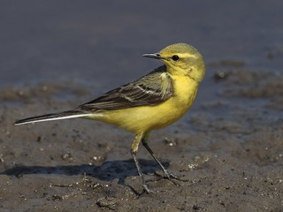 Yellow Wagtail Oldhurst. Luckily found a large puddle that is always the last to dry out,attracts Yellow Wagtails to feed and drink.