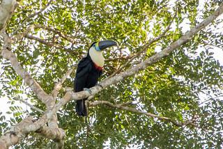 White-Fronted Toucan, Amazon Rainforest
