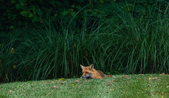 Resting Fox (Donald.Gallagher) Tags: animals bbf backyard de delaware foxes horizontal lenstagger mammals nature newcastlecounty northamerica pikecreek public redfox summer typebackbuttonfocus typecolor typelightroom typeportrait typeshutterbuttonfocus typetelephoto usa woodcreek
