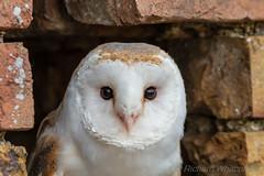 Barn Owl (WhitcombeRD) Tags: gloucester owls barn owl uk flying barnowl pwl birds flight