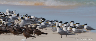 Common Noddy Terns and Crested Terns