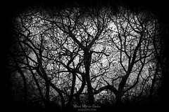 The dance of the trees (Mimadeo) Tags: branch branches twisted scary dark forest fear horror mood trees landscape magic tree nightmare shadow light nature mystery spooky darkness black halloween woods background creepy fantasy mysterious silhouette white blackandwhite atmosphere trunk grungy copyspace textures grunge moody aged aging antique damaged dirty grain mess scratch textured
