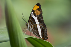 Butterfly 2018-65 (michaelramsdell1967) Tags: butterfly butterflies nature macro animal animals insect insects vivid vibrant upclose closeup beauty beautiful pretty lovely garden fragile detail delicate bug bugs white green brown leaf leaves bokeh wing zen
