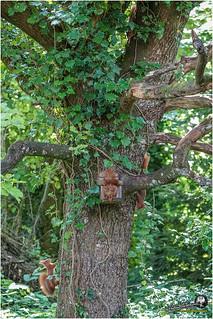 Au jardin (écureuil roux (4))