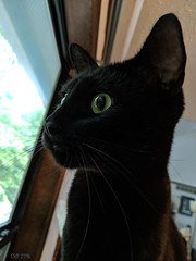 Sam Surprised (CopperScaleDragon) Tags: sam cat black greeneyes kitty blackcat
