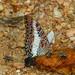 Charaxes brutus (White-Barred Charaxes)  (B00050, GH0034) (Butterflies in Still Air) Tags: ashantiregion 迦納 gh
