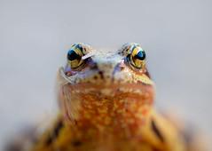 Model (Gilbert de Bruijn) Tags: frog brownfrog portrait