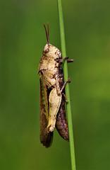 Grasshopper (TomIrwinDigital) Tags: grasshopper brontecreek