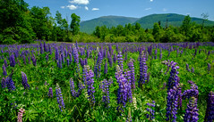 She Loves Lupines (jtr27) Tags: dscf9698xl jtr27 fuji fujifilm xt20 xtrans rokinon samyang 12mm f2 f20 ncs cs wideangle ultrawide lupine wildflower jefferson newhampshire nh newengland manualfocus purple whitemountains mount adams