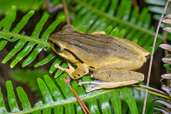 Polypedates megacephalus, Spot-legged tree frog - Phu Kradueng National Park (Rushen!) Tags: phukraduengnationalpark polypedates polypedatesmegacephalus spotleggedtreefrog amphibia frog amphibian thailand nikon d850 tamron tamron90mm 90mm rushenbilgin