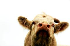 Bull portrait (scott_steelegreen) Tags: bull cow portrait white rare breed uk close up