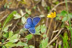 Mazarine Blue (murtica27) Tags: tagfalter mariposa farfalle butterfly butterfies falter lepidoptera macro european butterflies forst zeitz zeitzer sony alpha schmetterling europa makro vogel slovakia carpathian tatra nizke donovaly mazarine blue rotklee bläuling polyommatus semiargus
