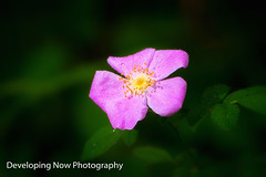 After The Rains (nywheels) Tags: flower botany bokeh nature outdoors leaves colorful flora naturephotography raindrops waterdroplets anemone