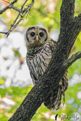 _S7A3126-Barred-owl (little river2006) Tags: barred owl