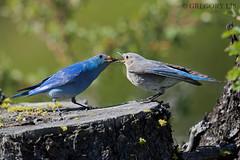 A male Mountain Bluebird feeds his mate (Gregory Lis) Tags: mountainbluebird sialiacurrucoides britishcolumbia gorylis gregorylis nikond810 nikon