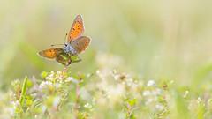 Rode Vuurvlinder -   Purple edged copper(Lycaena hippothoe) (Wim Boon (wimzilver)) Tags: wimboon eifel germany duitsland vlinder butterfly canoneos5dmarkiii canon100mmf28lismacro macro macrofotografie rood