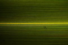 Line Symmetry (Bl.Mtns.Grandma) Tags: linesymmetry macromondays leaf bug flax weeklythemes patterns straight narrow lines