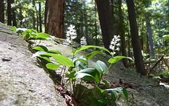 Canada Mayflower (yooperann) Tags: marquette michigan wildflower upper peninsula rock spring woods canada mayflower forest trees