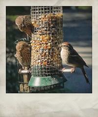 """Who Invited You?""   Songbirds On Our Bird Feeders (steveartist) Tags: songbirds birdfeeders panasoniclx100 snapseed instantapp bokeh fakepolaroids stevefrenkel birdseeds"