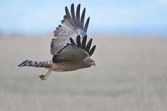 Spotted Harrier_9376 (Circus assimilis) (Neil H Mansfield) Tags: native nature prey harrier swamp swampharrier raptor thesunshinegroup spotted circusassimilis spottedharrier coth5 sunraysshowcaseaward
