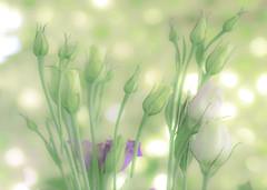 soft summer focus (Hal Halli....happy everything!!) Tags: blossoms summer green flowers florals spring wallart homedecor